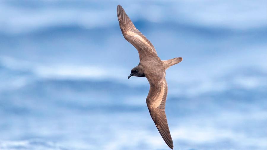 Descubren que un ave marina recorre más de 1,800 kilómetros para alimentarse