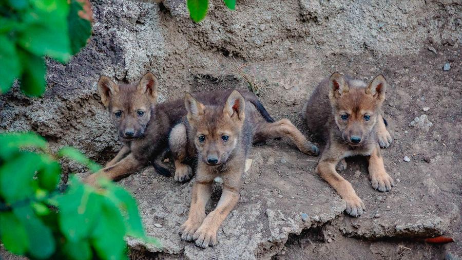 Nacen tres cachorros de lobo gris mexicano en un Museo del Desierto