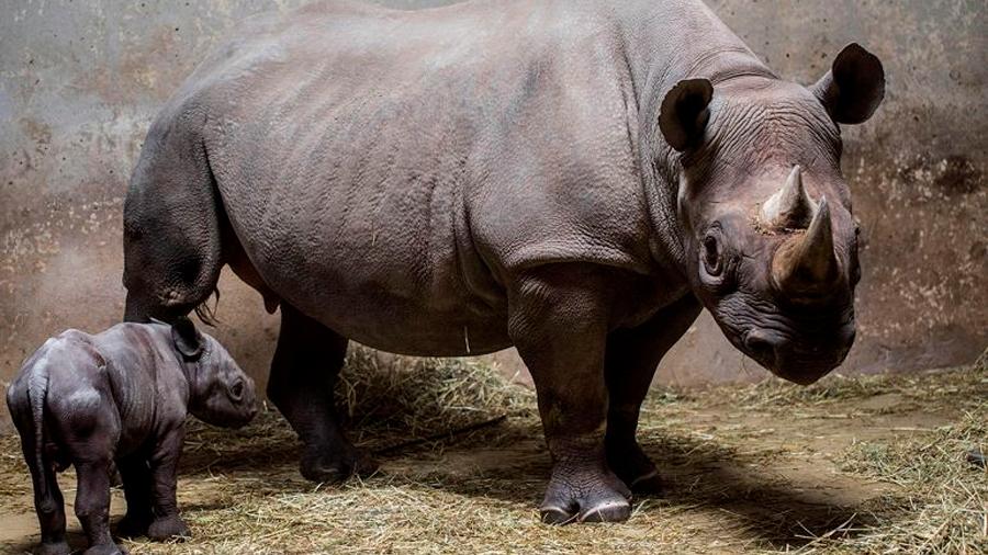 """En """"peligro crítico"""" tres especies de rinoceronte"""