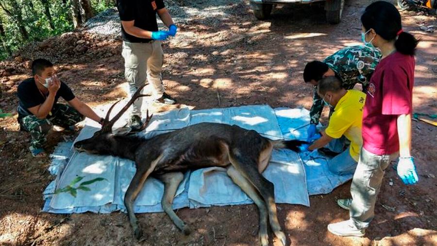 Hallan a ciervo muerto con siete kilos de plástico en el estómago