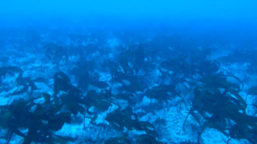 Misterioso bosque de macroalgas en Galápagos intriga a los expertos