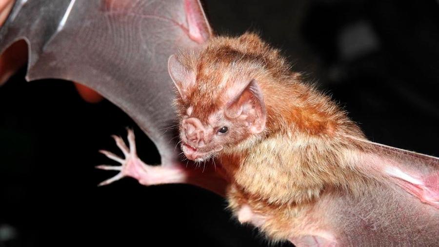 Murciélagos fluorescentes simulan cómo funciona una vacuna contra la rabia