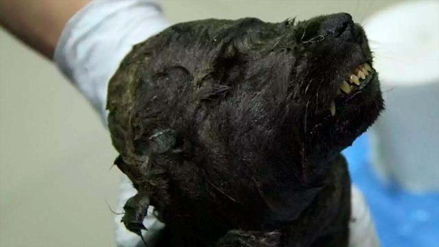 El perro o lobo congelado de 18.000 años hallado en Siberia que desconcierta a los científicos