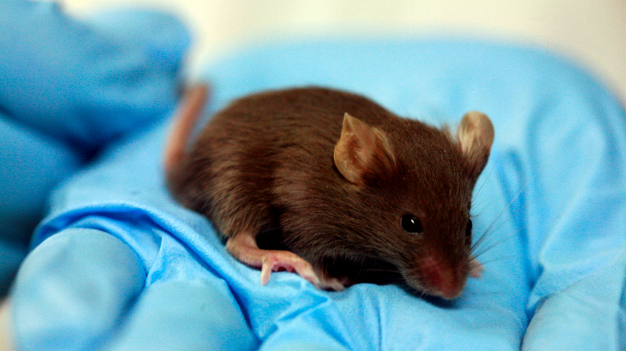 Nanoherramientas de grafeno activan células inmunitarias para la regeneración ósea en ratones