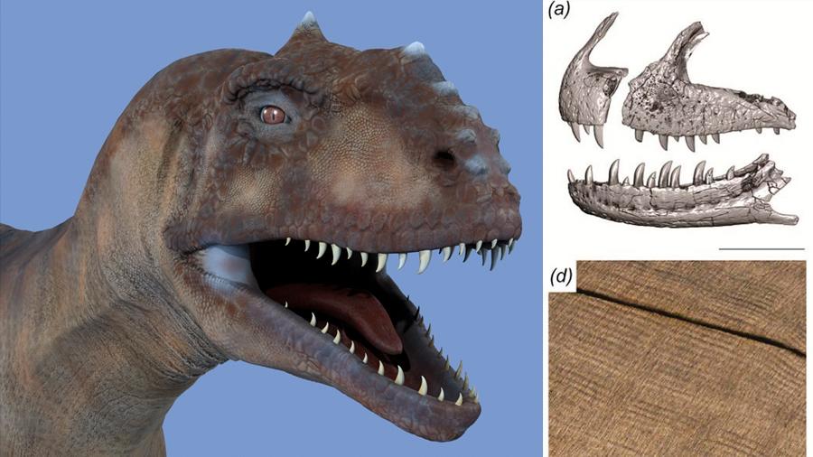 Científicos descubren un dinosaurio que renovaba sus dientes cada dos meses
