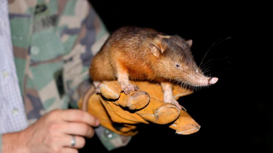 Descubren el secreto de uno de los pocos mamíferos venenosos del mundo