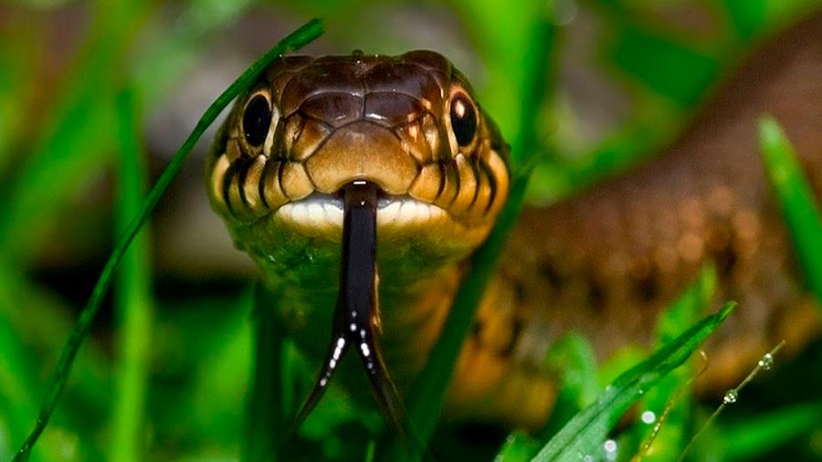 Mexicanos potencian efecto de antiveneno contra mordedura de serpiente