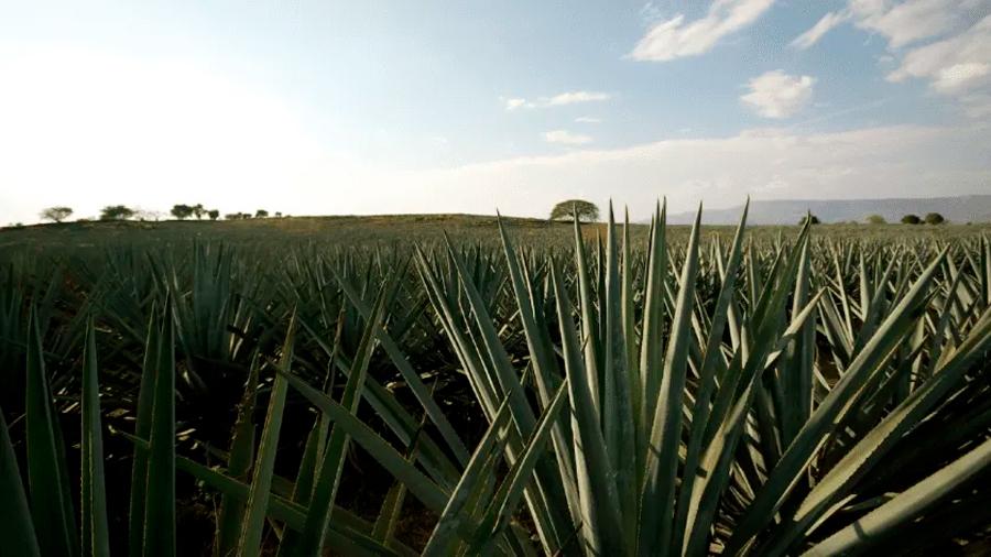 Científicos mexicanos crean gelatina de agave para combatir la colitis