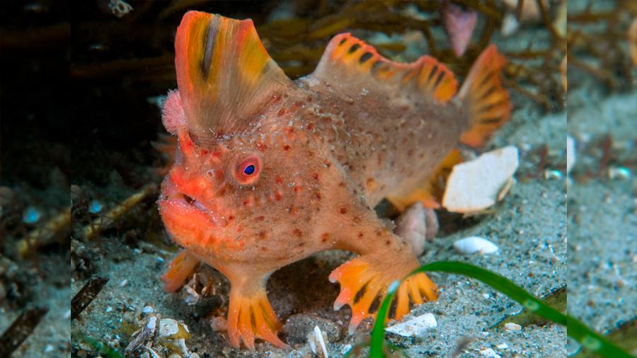 Cría en cautividad asegura la supervivencia del pez más raro del mundo