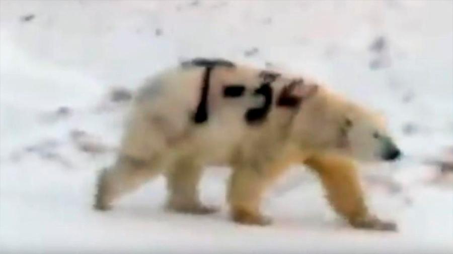 Misterioso mensaje pintado sobre un oso polar en Rusia alarma a los científicos