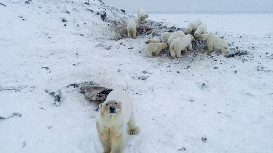 Una manada de más de 50 osos polares flacos y hambrientos puso en alerta a una aldea de Rusia