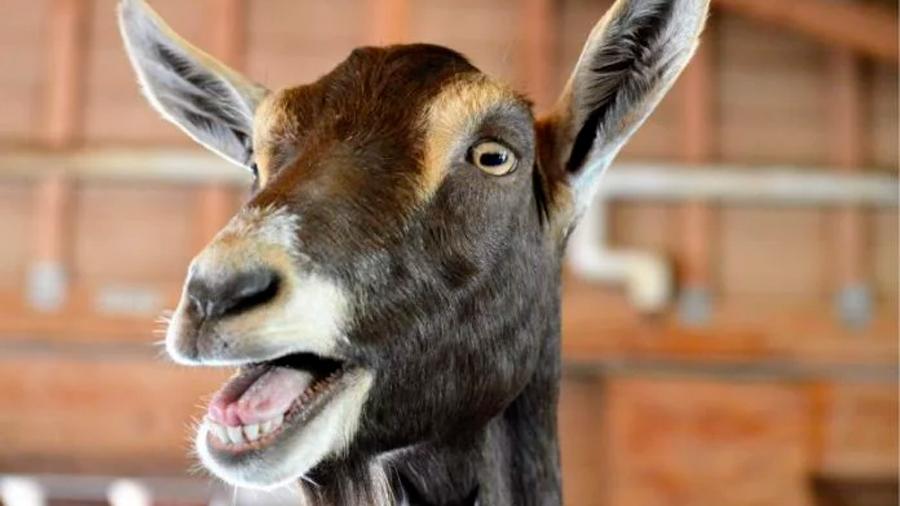 Pupilas rectangulares: la curiosa característica de los ojos de las cabras