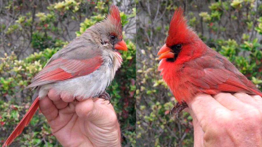 Descubren cardenal extremadamente raro en Texas
