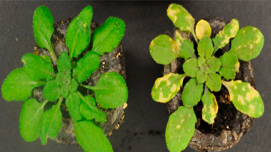 Descubren el gen que controla el hierro en las plantas