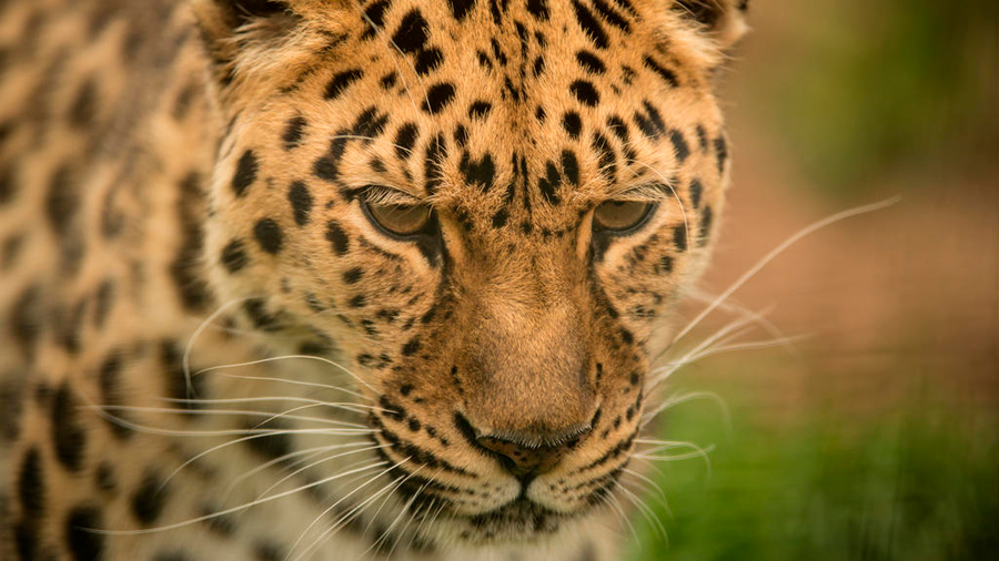 El jaguar continúa en riesgo de extinción en México