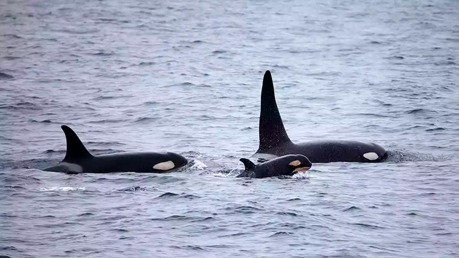 Las orcas viven más cuando tienen abuela