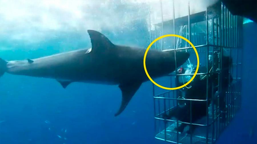 Activista mexicano denuncia la muerte de un tiburón blanco que quedó atrapado en una jaula