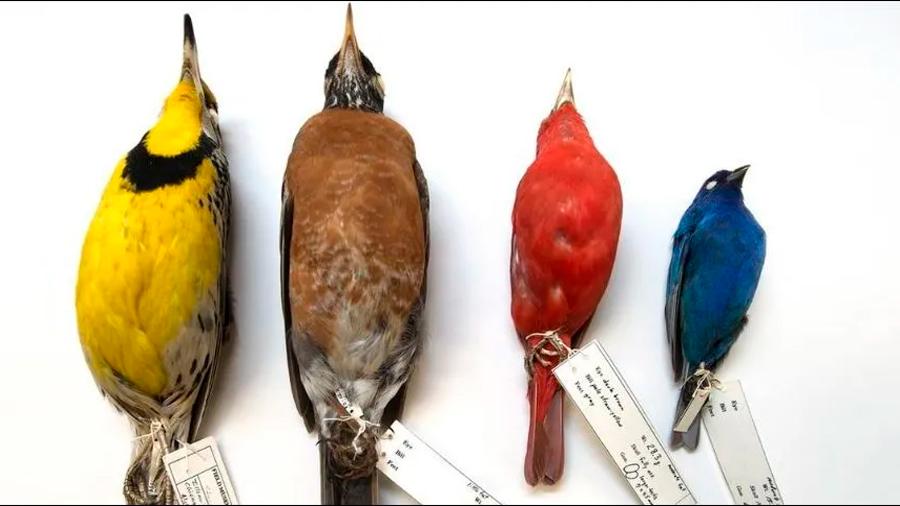 ¿Por qué el cuerpo de los pájaros se está encogiendo mientras sus alas crecen?