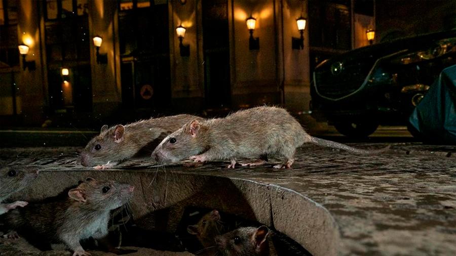 Nuestra guerra contra los roedores urbanos puede estar creando una nueva especie: las superratas