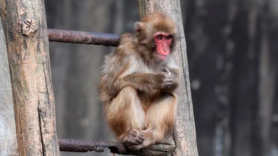 Investigador se contagia del letal herpes B al experimentar con monos