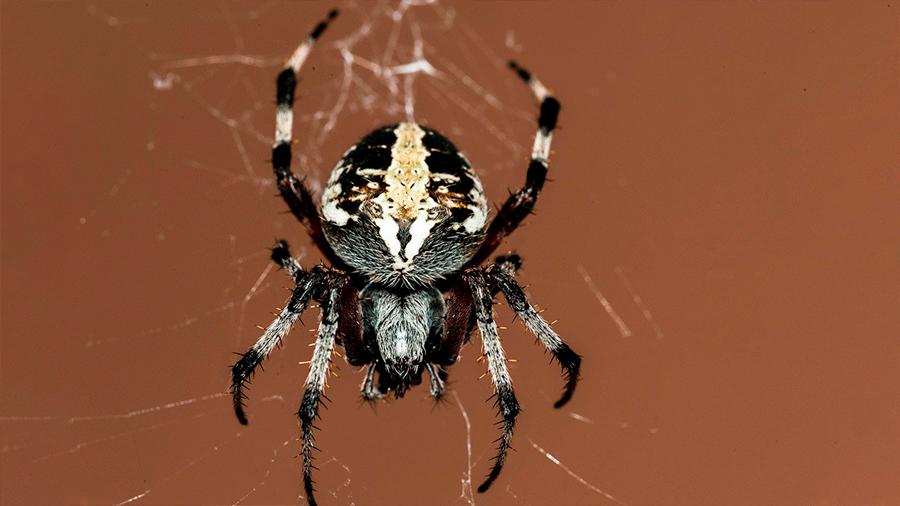 Descubren en México una nueva especie de araña violinista venenosa