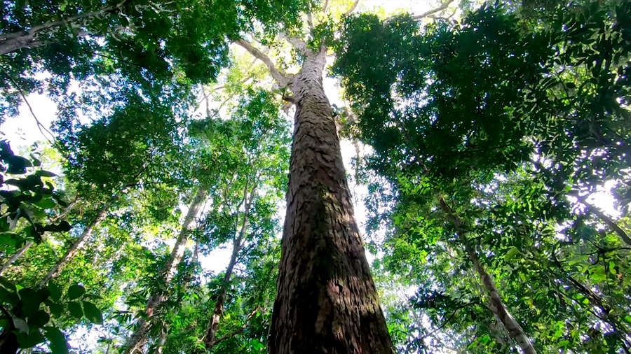 Nuevo récord de altura para un árbol en el Amazonas: 88.5 metros
