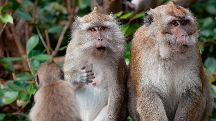 Una interfaz permite saber cómo procesan los primates las palabras