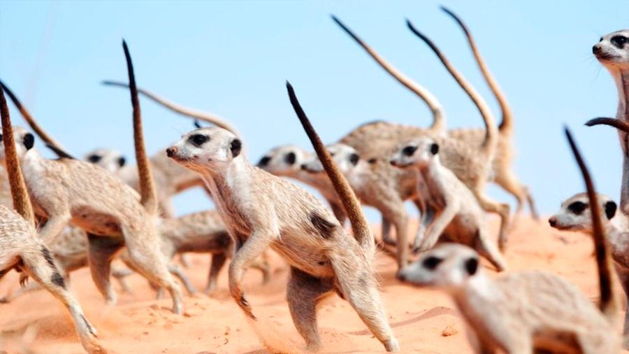 Los clanes de suricatas protegen su territorio con danzas de guerra