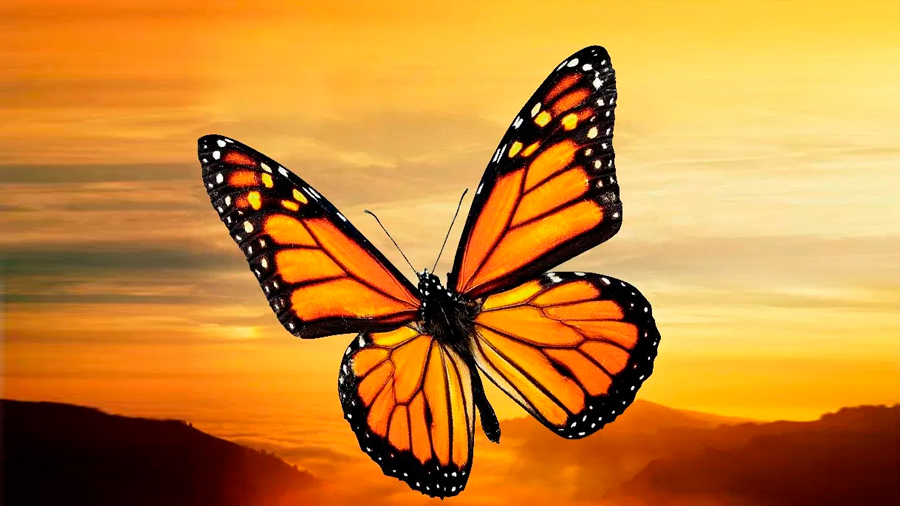 El ángulo del sol activa la migración de las monarcas de EU y Canadá a México