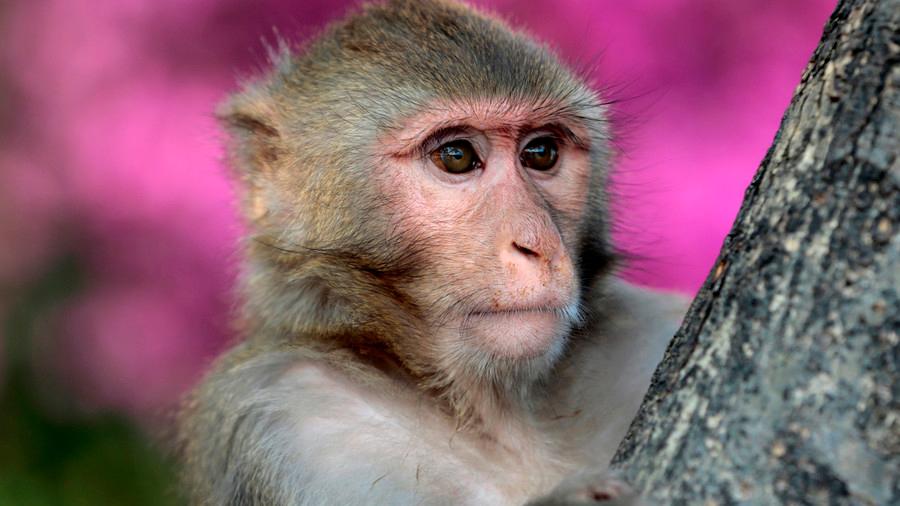 El secreto está en los monos: descubren que el habla humana apareció hace 20 millones de años