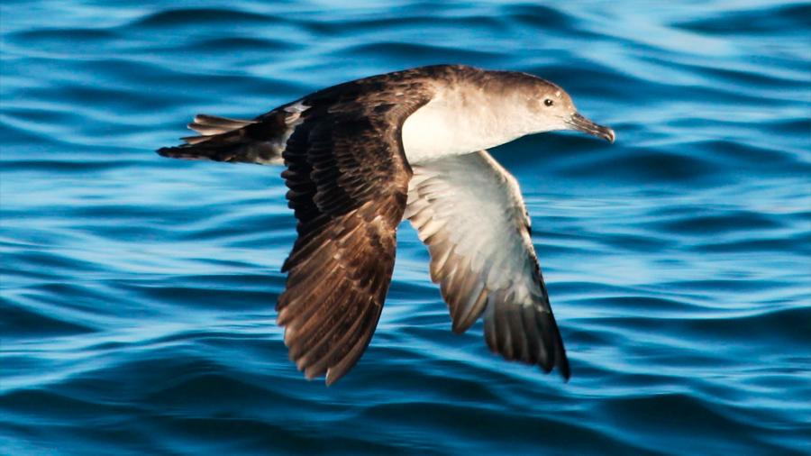 Erradican rata negra de isla mexicana que amenazaba a ave en riesgo de extinción