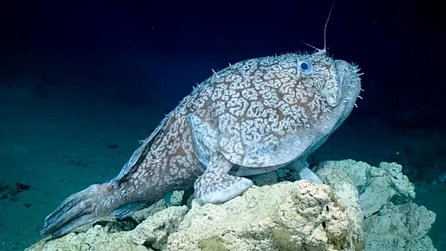 Descubren misterioso pez en el Golfo de México que convierte sus aletas en grandes patas