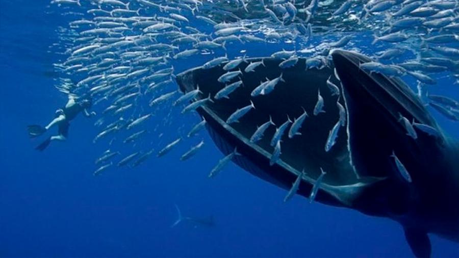 Las ballenas recurren al sigilo y engaño para atacar bancos de peces