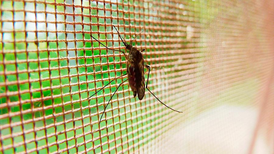 Los mosquitos se hacen resistentes al insecticida por sus patas