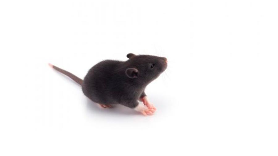 Científicos chinos engendran ratones en células de granulosa