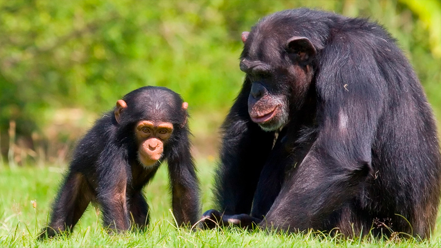 Los chimpancés enseñan activamente a sus crías en tareas complejas