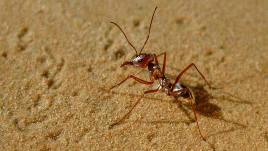Así es el truco de las hormigas del desierto para caminar hacia atrás sin perderse