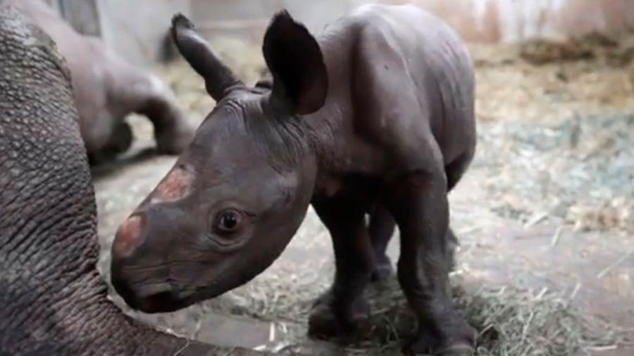 Por primera vez en 100 años nace un rinoceronte negro en el zoo de Michigan