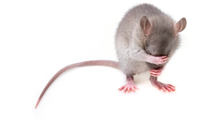 Las ratas altruistas: prefieren liberar a una compañera que comer chocolate