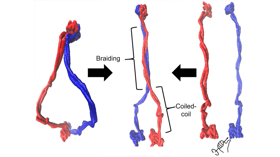 Observan por primera vez de cerca las proteínas de las 'bobinas en espiral' que forman el ADN