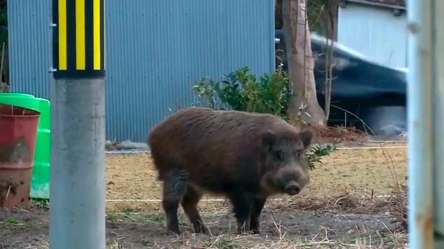 Decenas de especies animales prosperan en los alrededores de Fukushima