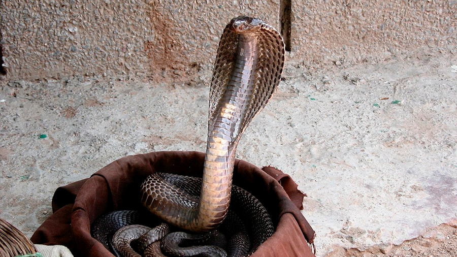 Secuencian el genoma de la cobra india para conseguir un antiveneno