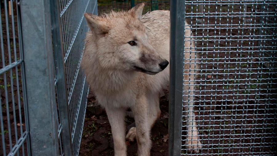 Perros y lobos cooperan para obtener recompensas