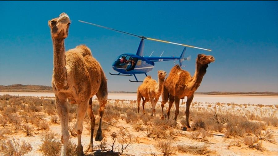 Australia están sacrificando a miles de camellos disparándoles desde helicópteros