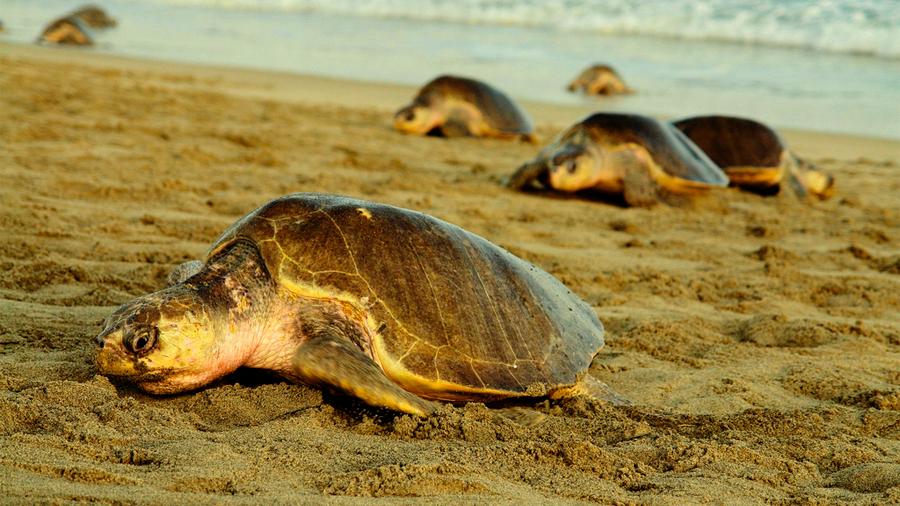 México Marea roja deja casi 300 tortugas muertas en playas de Oaxaca