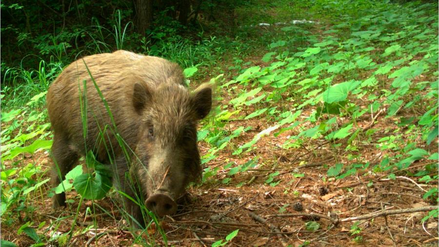 Casi una década después del desastre nuclear, la vida silvestre prospera en Fukushima