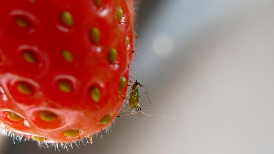 Las plantas heridas por insectos producen frutos más saludables