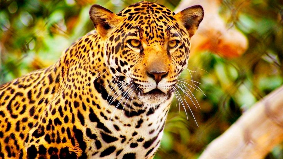 La extinción acecha al jaguar mexicano a causa del mercado ilegal chino