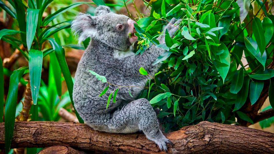 Los koalas aún no logran asilo en Nueva Zelanda