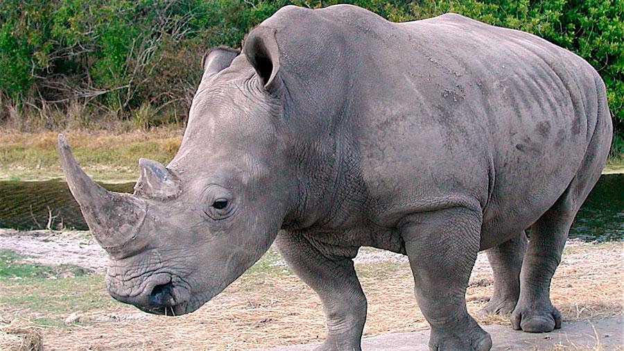 Crean embrión de rinoceronte blanco casi extinto
